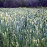 Cover crop establishment April
