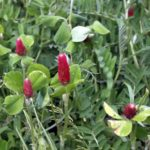 Crimson clover and hairy vetch