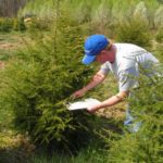 Using a beat sheet to scout hemlocks for mites or scales.